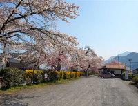 Sakurahino