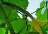 Cucumber171